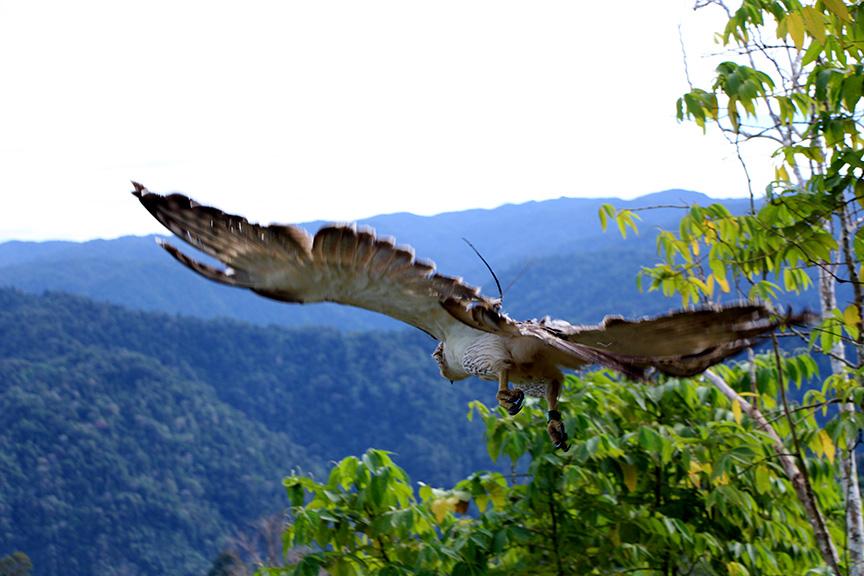 A juvenile Philippine Eagle is freed to its habitat Tuesday, January 31, a month after rehabilitation by the Philippine Eagle Center. (Edgardo Calderon of CENRO Kiamba for SARANGANI INFORMATION OFFICE)